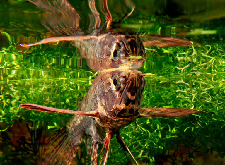 Для размножения рыбы бабочки необходимо приложить максимум усилий