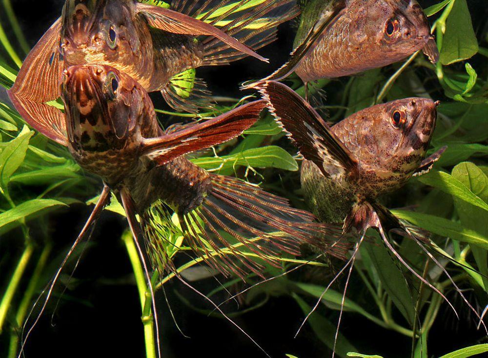Рыба бабочка уживается с рыбками не менее 7 см в длину
