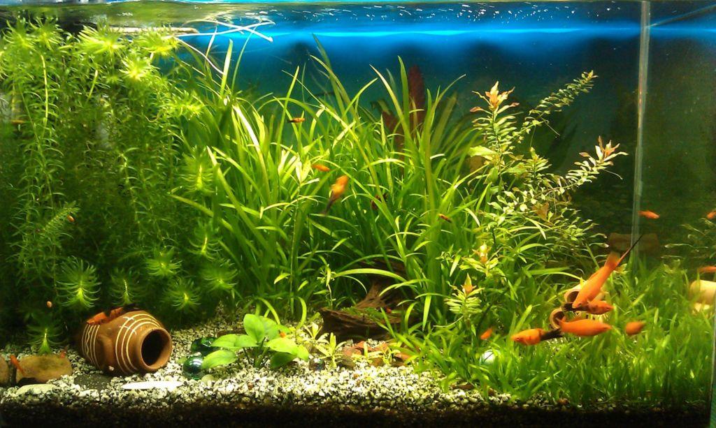 Для нескольких особей лучше выбирать аквариум на 150 литров