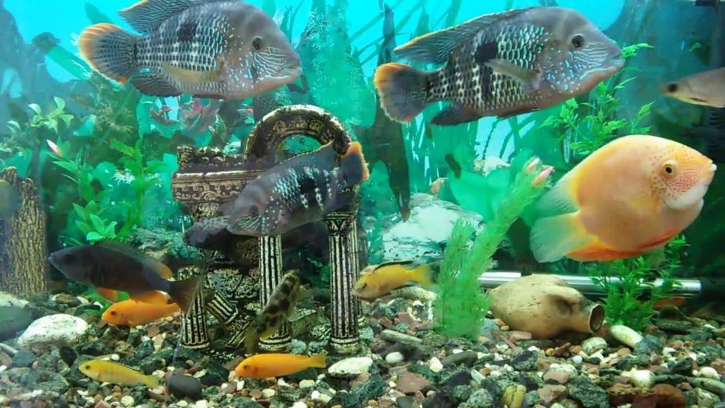 Вместо подселения к другим рыбам рекомендуется отсадить акар бирюзовых в отдельный аквариум