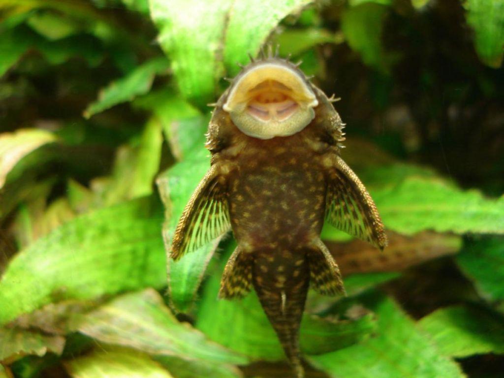 Анциструсы скоблят поверхность аквариума в поисках еды