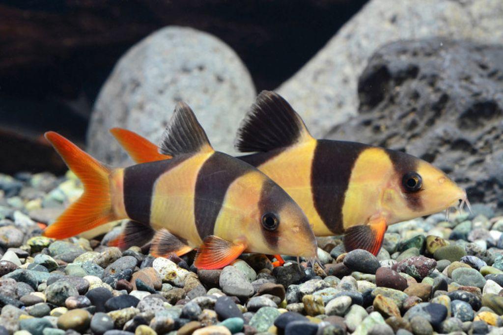 рыбки фото боции