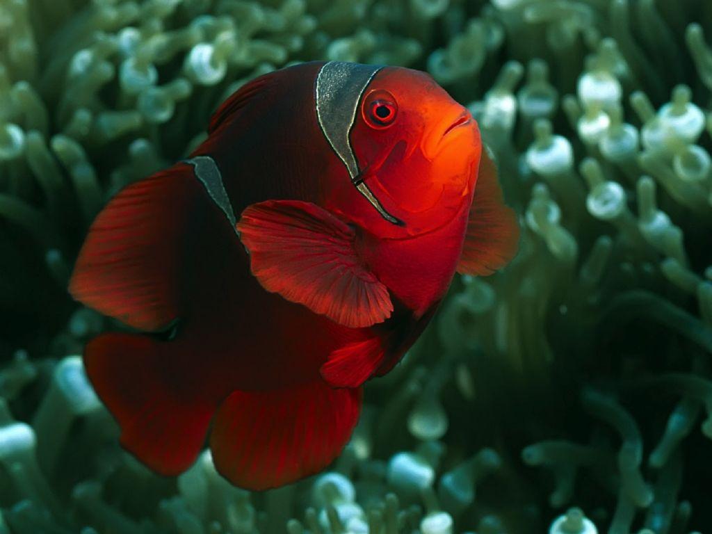 Одна из разновидностей рыбы клоун