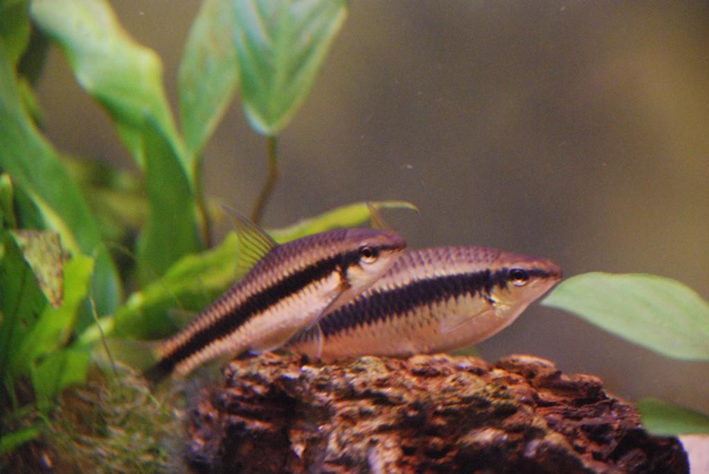 Пара рыб сиамского водорослееда