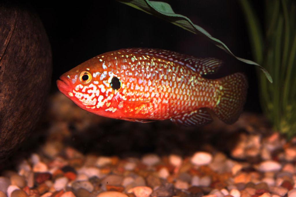 Правильное содержание и уход за рыбкой хромис красавец