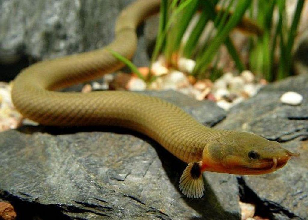 Правильное содержание рыбы-змеи или калабарского каламоихта