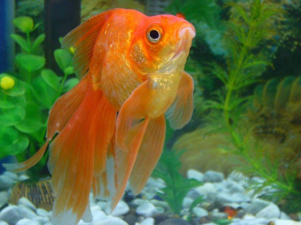 Содержание и уход за аквариумной рыбкой вуалехвост