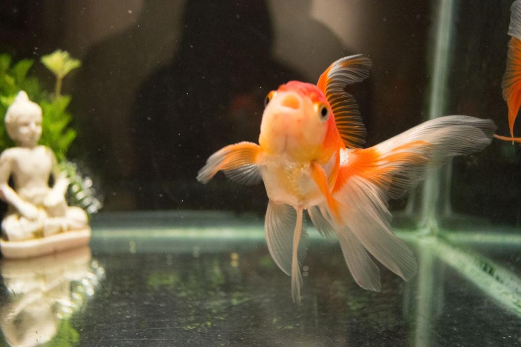 Главное украшение рыбы - пышный раздвоенный хвост