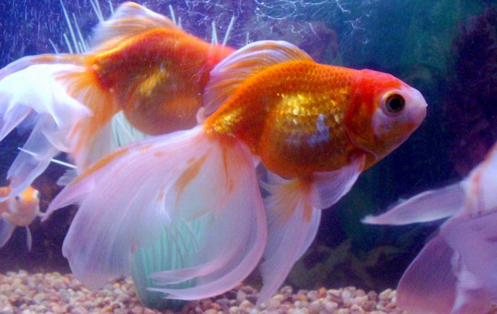 Для размножения одну самку и двух самцов вуалехвостов пересаживают в отдельный аквариум