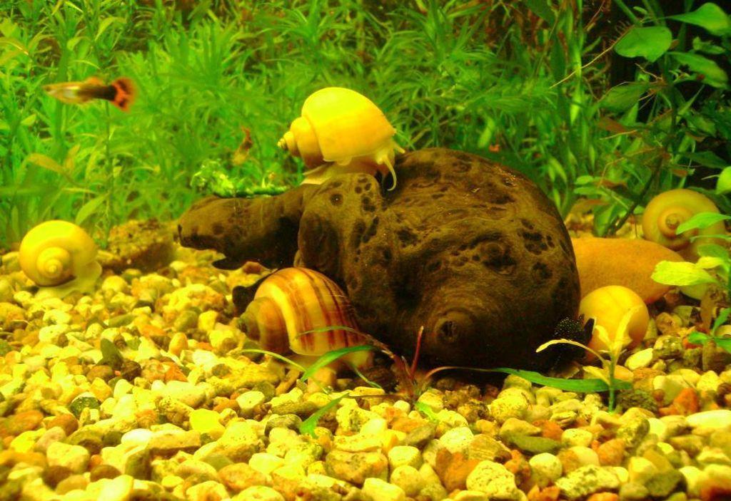 На дне аквариума с ампуляриями должна находиться крошка мрамора или ракушки
