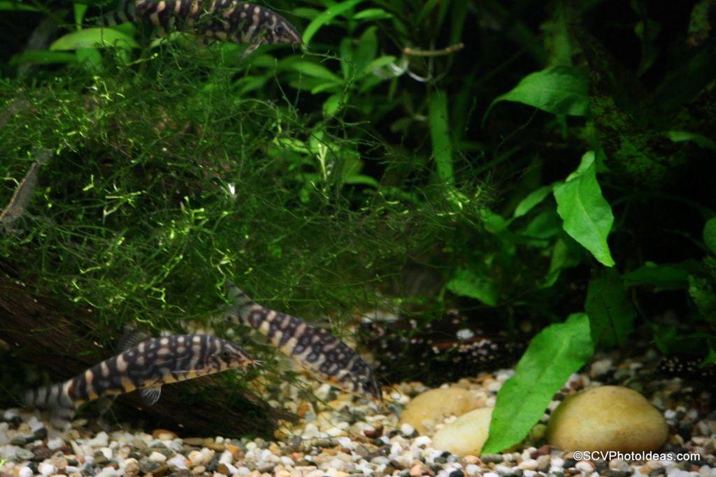 Вода в аквариуме с боцией должна быть кристально чистой