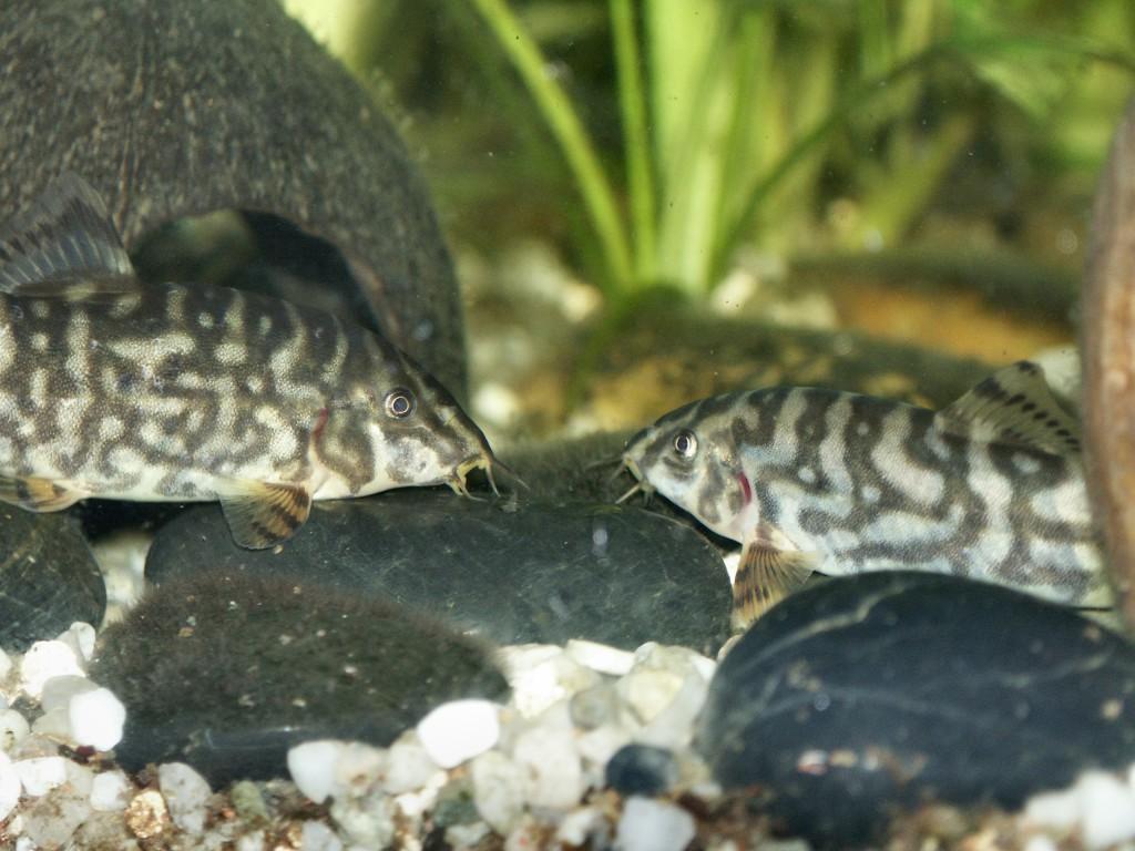 Для размножения самца и самку боции мраморной отсаживают в отдельный аквариум
