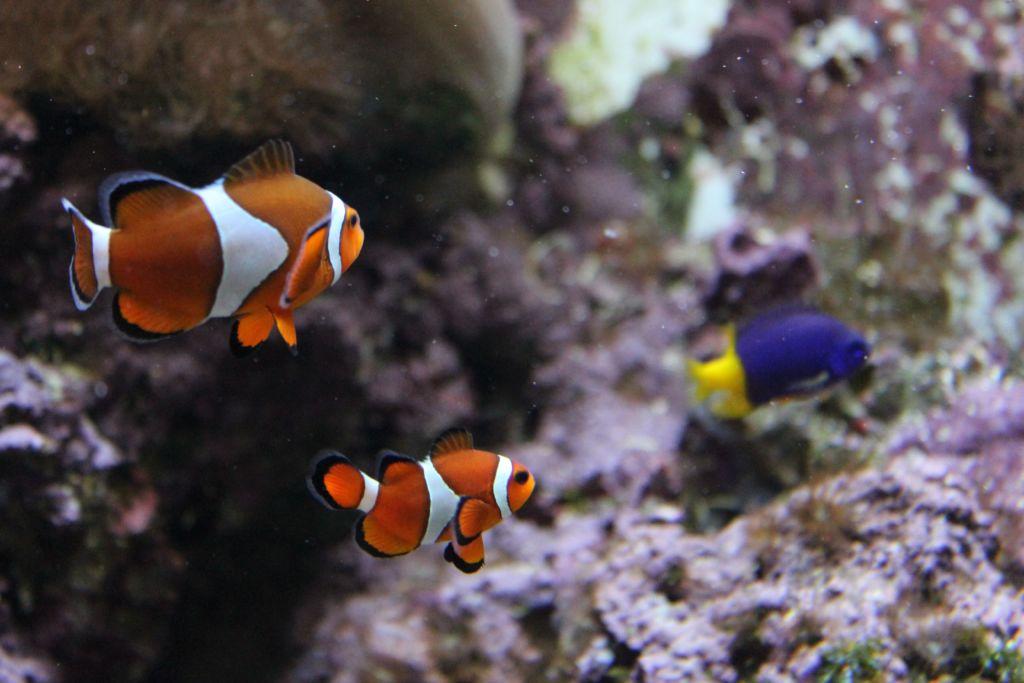 Рыбы клоуны в аквариуме с другими разновидностями