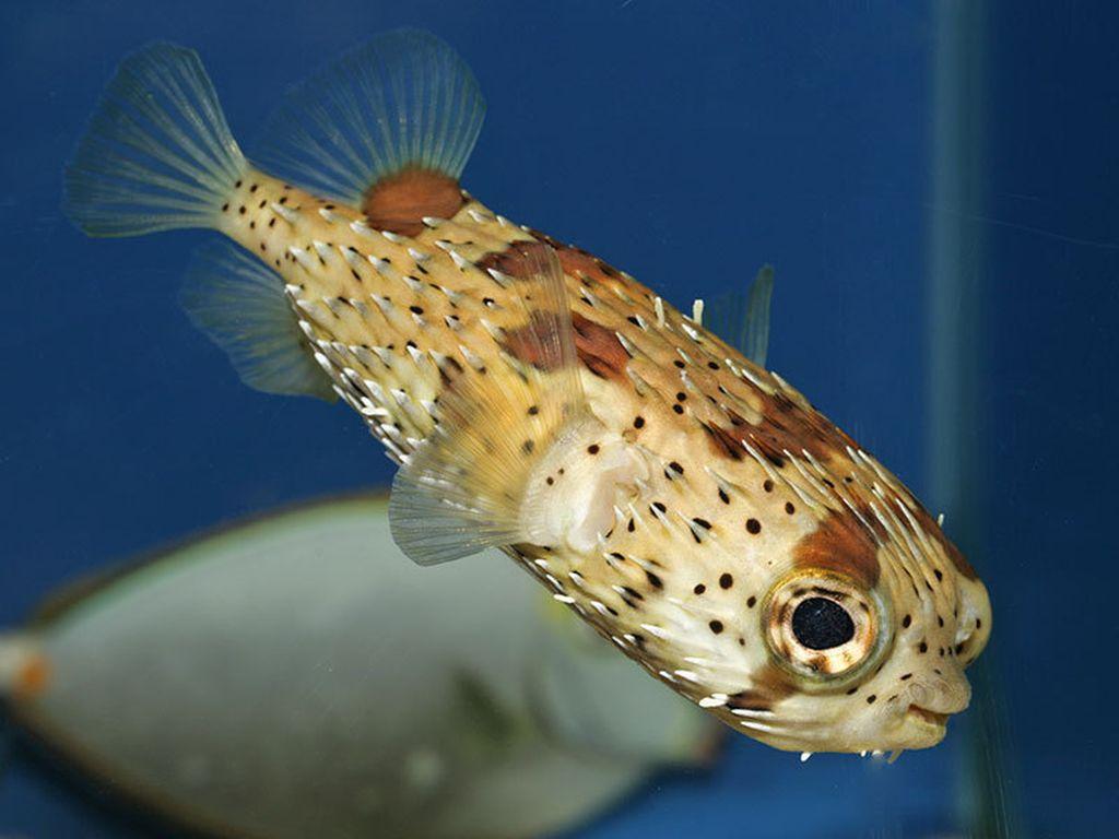 Рыба еж в спокойном состоянии