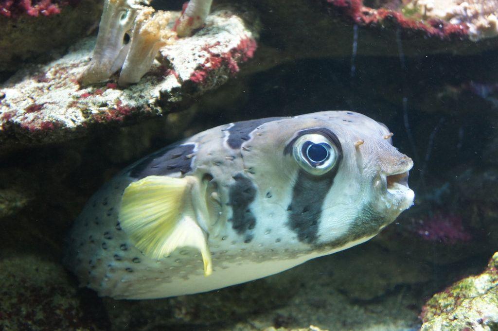 На одну особь рыбы ежа нужно 200-500 литров объема аквариума