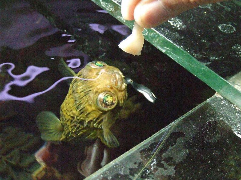 Рыбу ежа можно кормить кусочками моллюсков и кальмаров