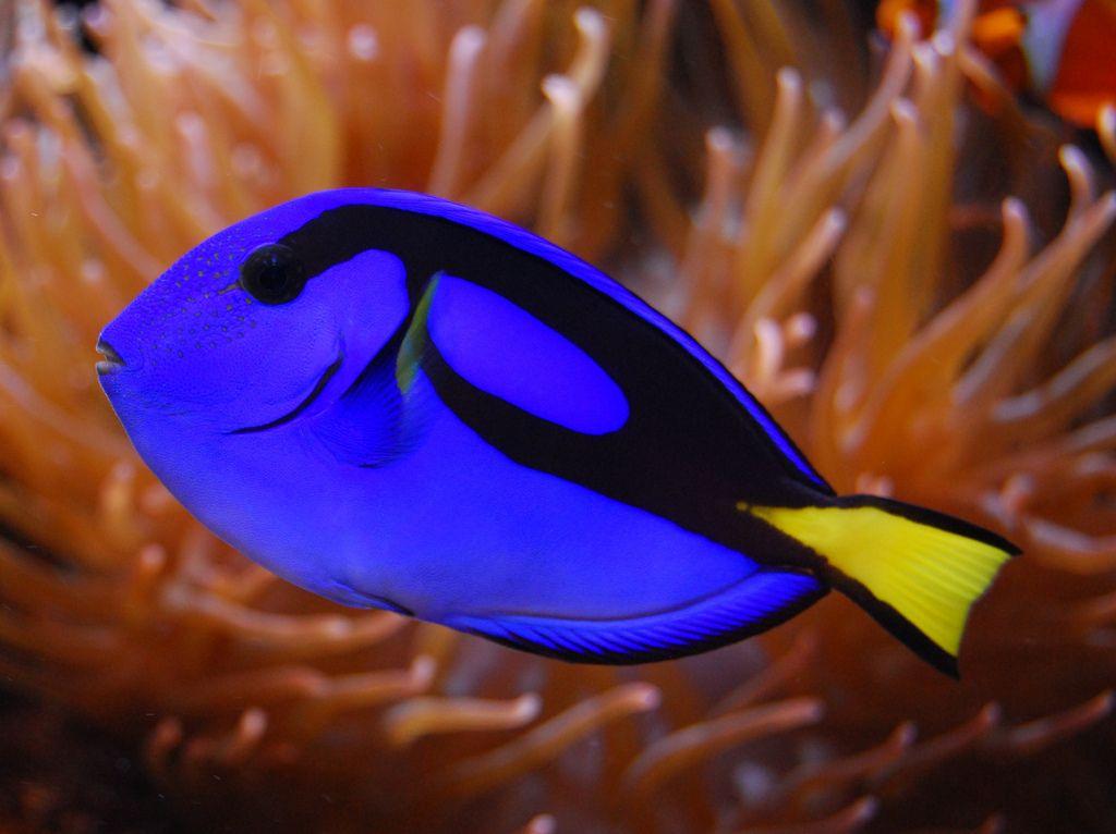 Описание и правила содержания аквариумной рыбы хирург