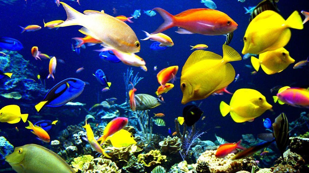 Высаживать хирургов в аквариум нужно с перерывом в 1-2 недели