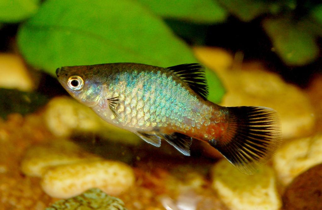Правильное содержание и уход за аквариумной рыбкой пецилией