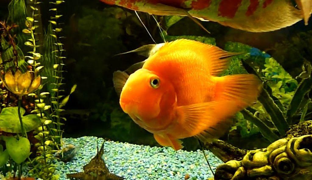В аквариуме попугаи часто плавают и прячутся среди растений и укрытий