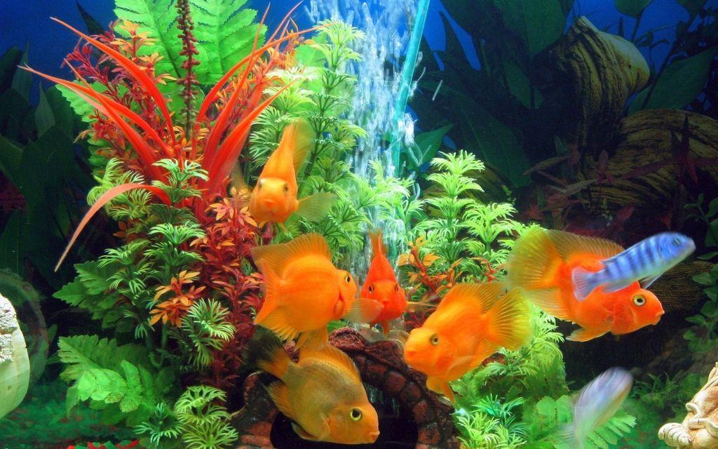 Для лучшей уживаемости лучше высаживать попугаев в аквариум в возрасте мальков