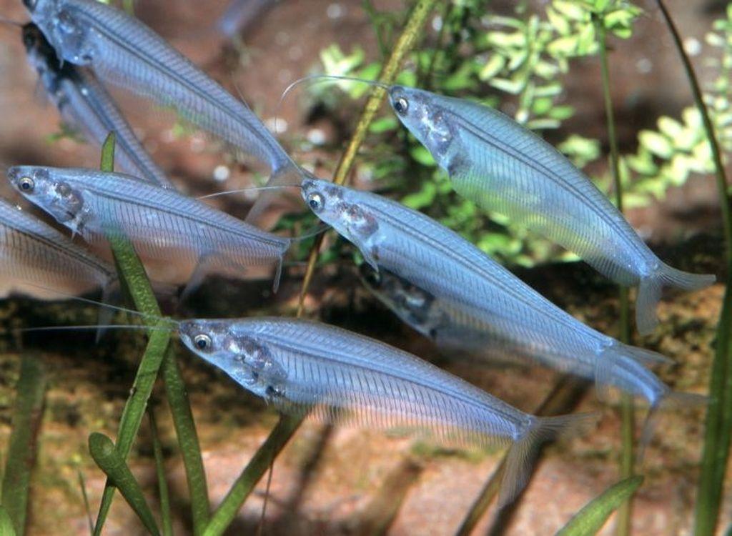 Описание аквариумной рыбки стеклянный индийский сом