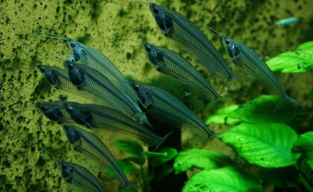 Рыбка любит прятаться, поэтому в аквариуме должно быть много коряг и укрытий