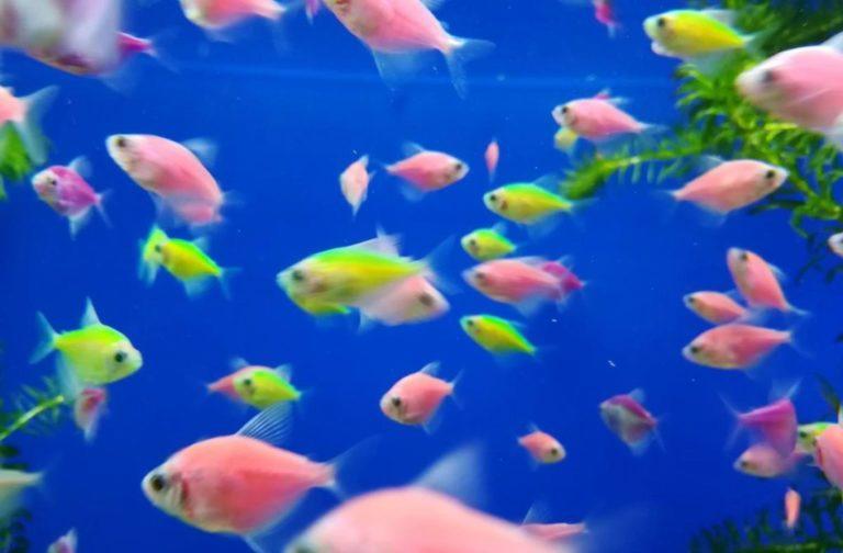 Рыбка тернеция