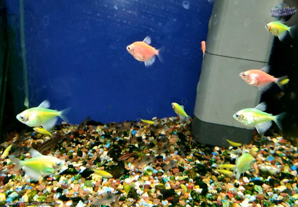 Обязательно необходимо оснастить аквариум с тернециями системой фильтрации воды