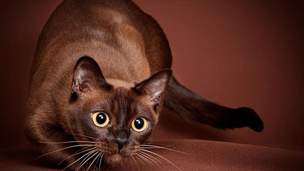Кошка бурма готовится к прыжку