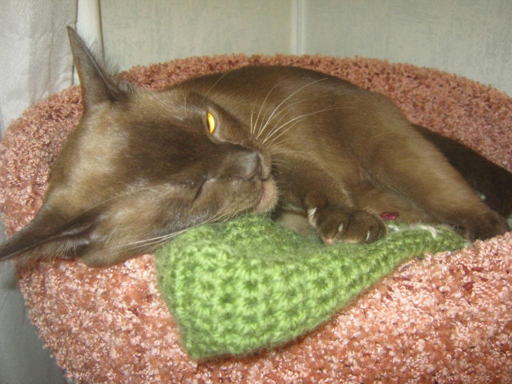 Кошка Бурманской породы спит на подушке