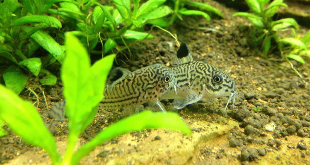 8 популярных видов аквариумных сомиков