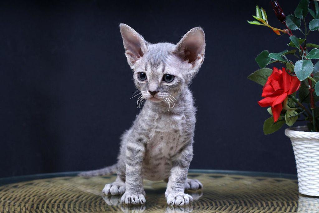 Подробное описание породы кошек девон-рекс