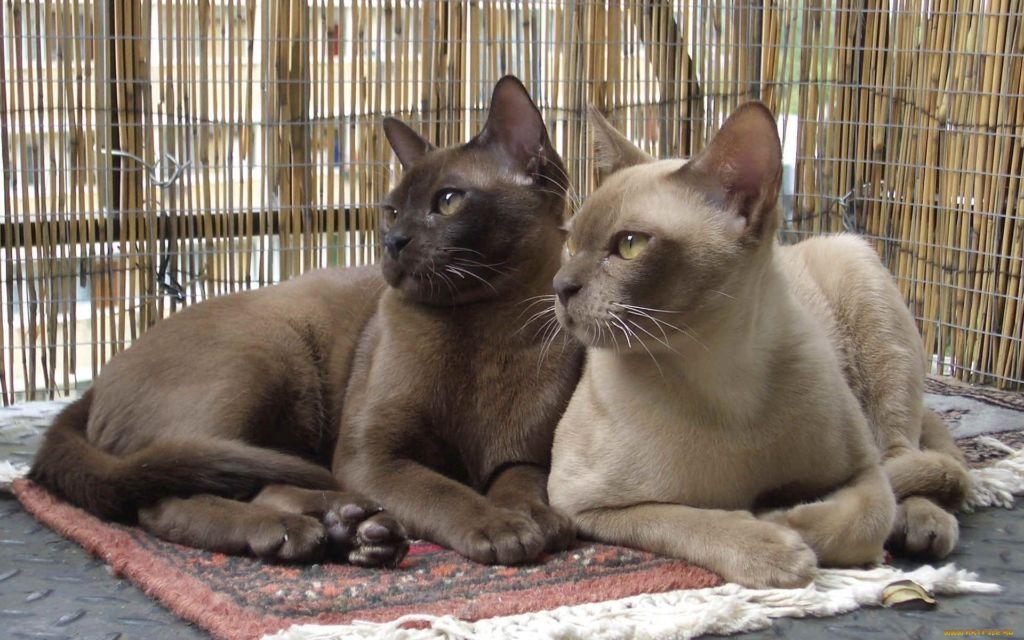 Описание породы и характер бурманской кошки