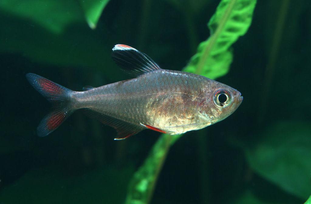 7 основных разновидностей рыбки тетра и уход за ней