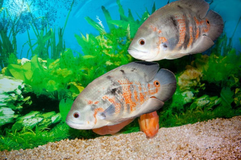 Правила и особенности процесса размножения рыбы