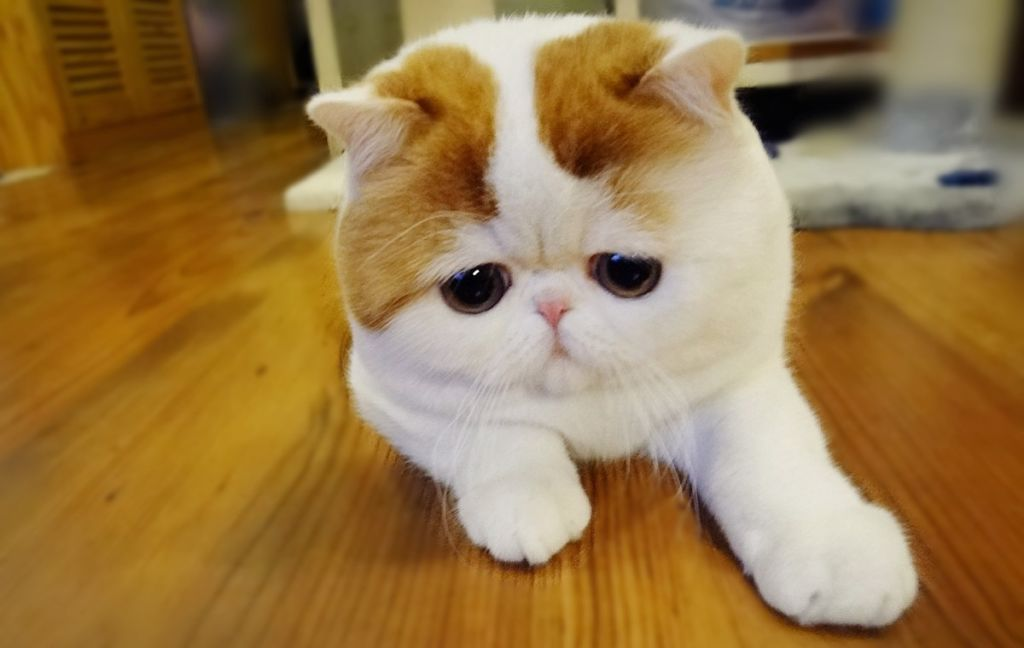 Японская кошка снупи
