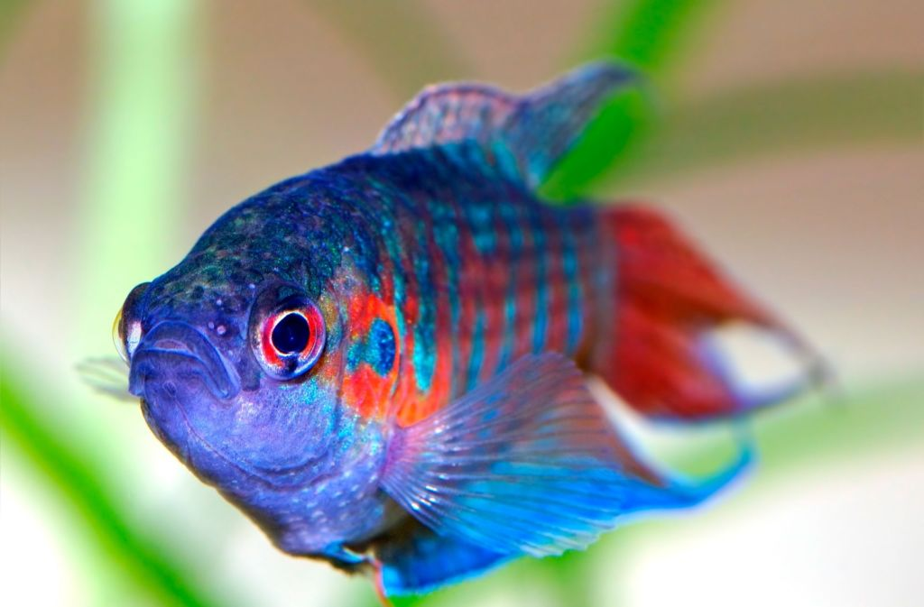 лабиринтовые рыбы довольно миролюбивы