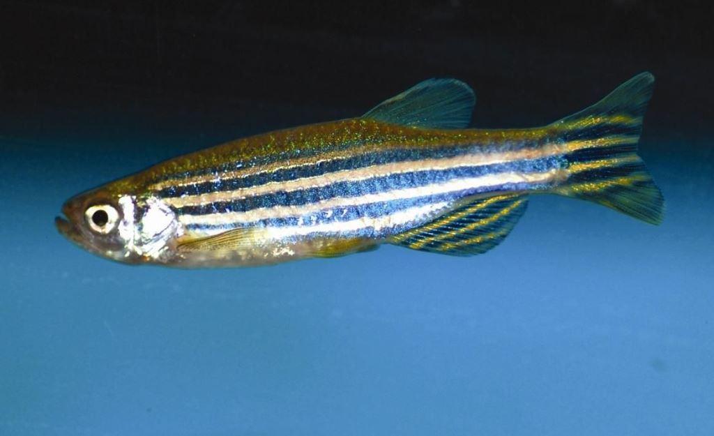 Содержание и уход за аквариумной рыбкой данио рерио