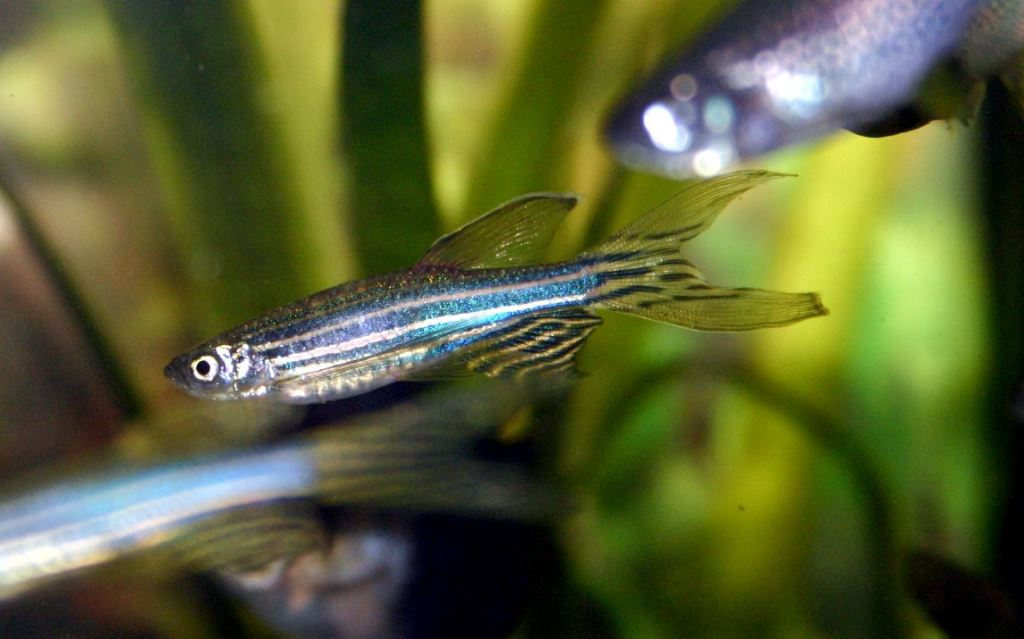 Рыбка данио рерио