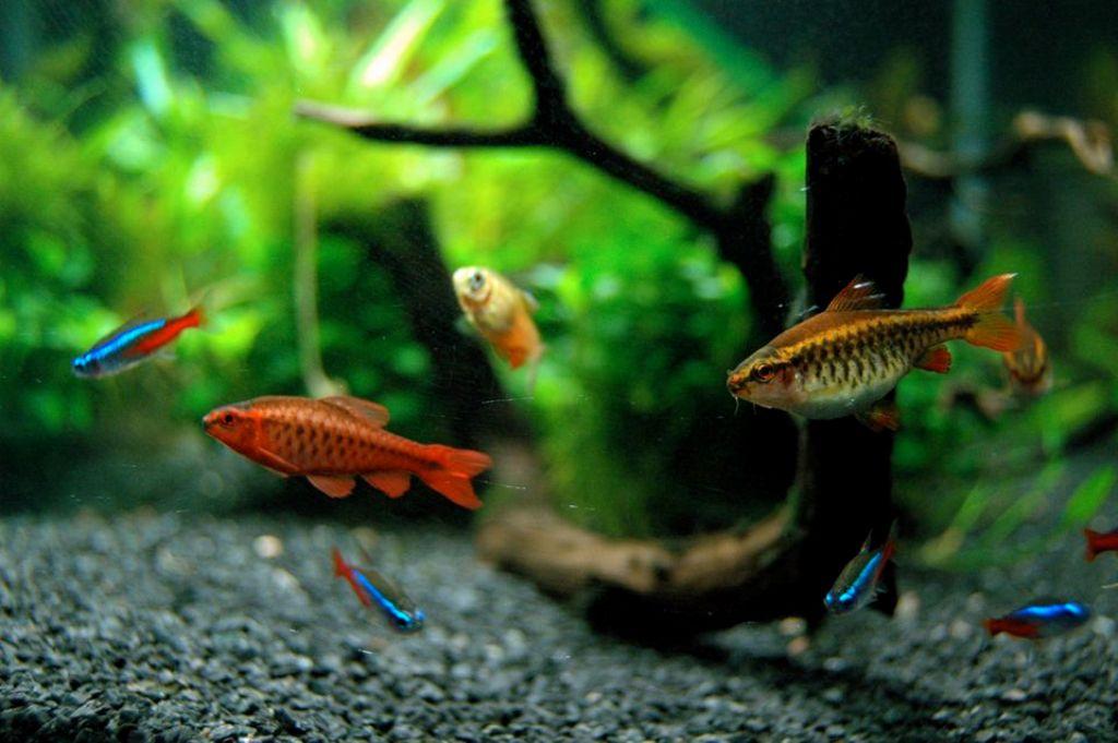 В один аквариум лучше всего селить рыбок с одинаковыми характеристиками