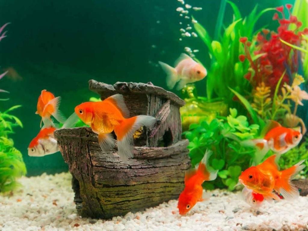 Золотую рыбку нельзя селить со слишком мелкими, она может их съесть