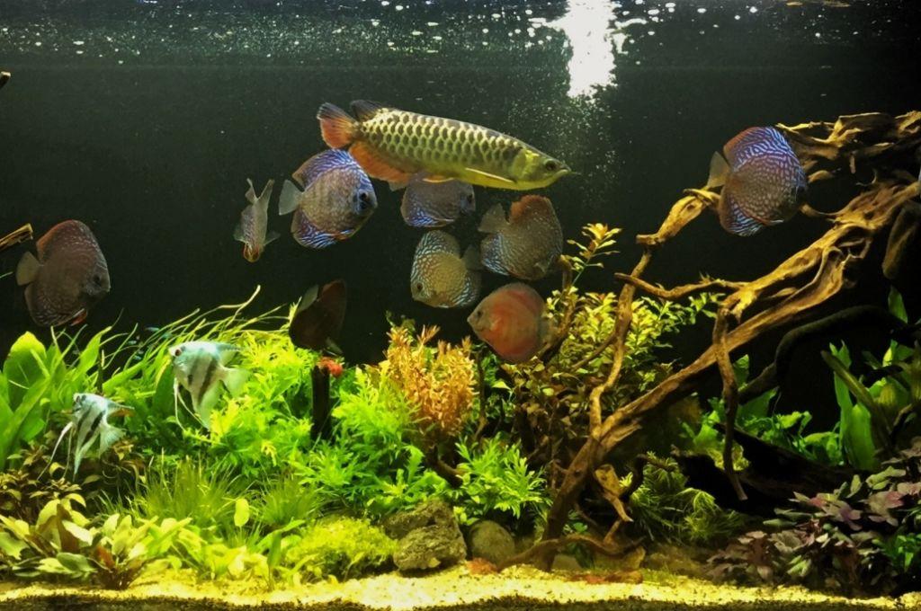 Арована способна ужиться только с крупными рыбами