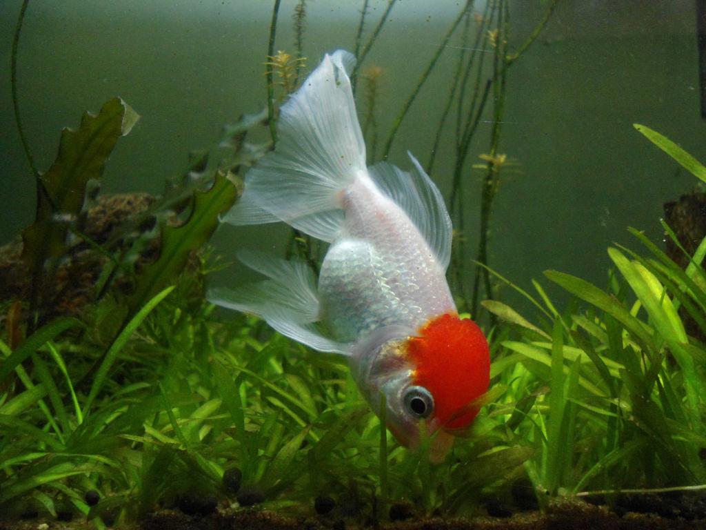 Разведение рыбки красная шапочка дома в аквариуме