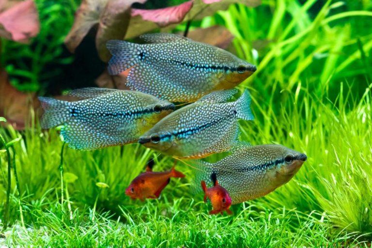 Рыбки гурами
