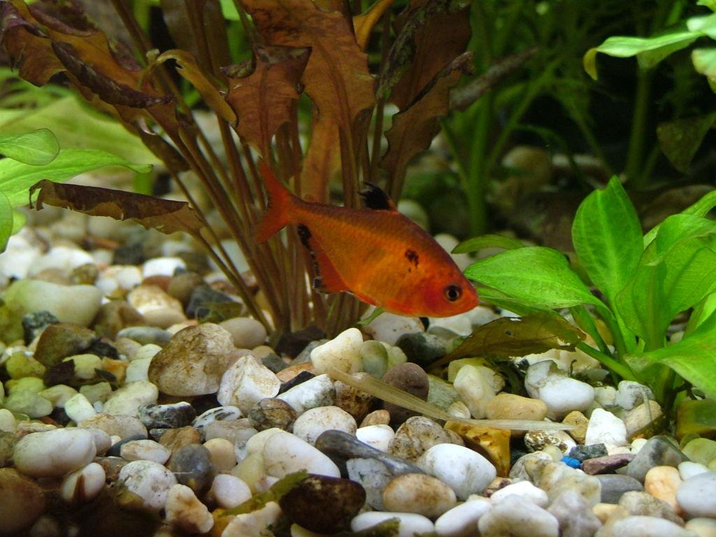 Желательно воссоздать в аквариуме естественные условия обитания минора