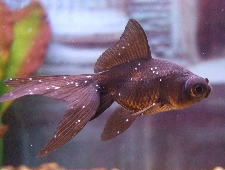 Ихтиофтириоз в общем аквариуме