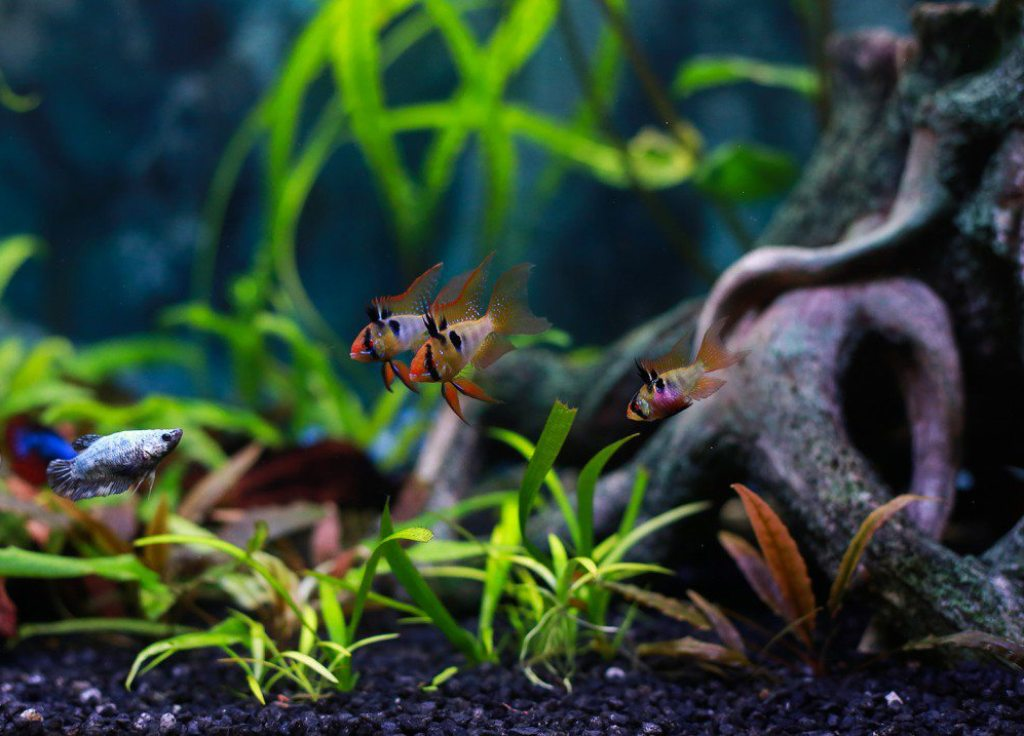 Рыбка вполне может ужиться даже с петушками