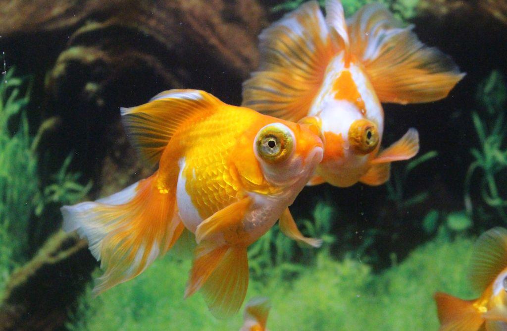 Лучше всего рыбка с выпученными глазами уживается с таким же телескопом