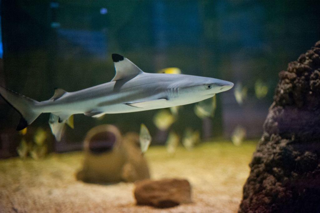 Аквариумная мини акула